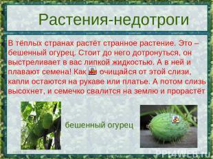 * * Растения-недотроги В тёплых странах растёт странное растение. Это – бешенный