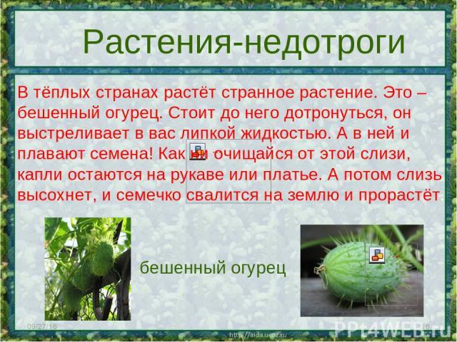 * * Растения-недотроги В тёплых странах растёт странное растение. Это – бешенный огурец. Стоит до него дотронуться, он выстреливает в вас липкой жидкостью. А в ней и плавают семена! Как ни очищайся от этой слизи, капли остаются на рукаве или платье.…
