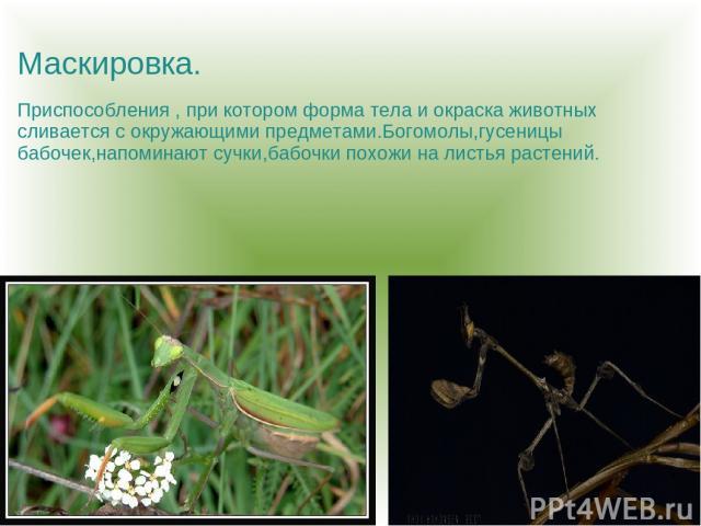 Маскировка. Приспособления , при котором форма тела и окраска животных сливается с окружающими предметами.Богомолы,гусеницы бабочек,напоминают сучки,бабочки похожи на листья растений.