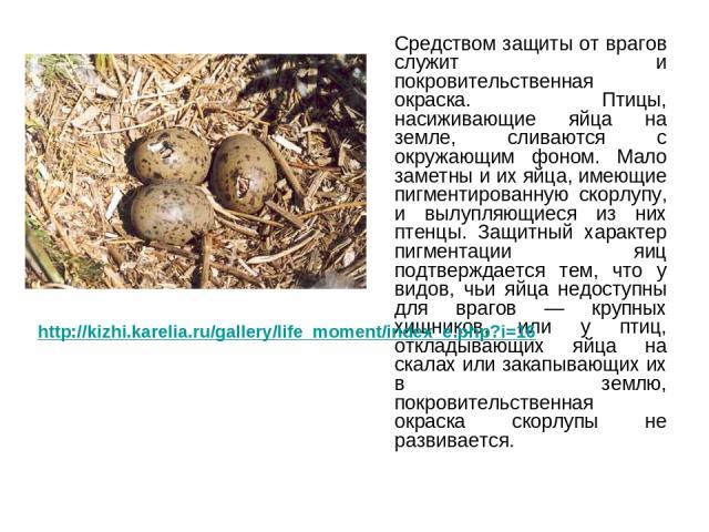 Средством защиты от врагов служит и покровительственная окраска. Птицы, насиживающие яйца на земле, сливаются с окружающим фоном. Мало заметны и их яйца, имеющие пигментированную скорлупу, и вылупляющиеся из них птенцы. Защитный характер пигментации…