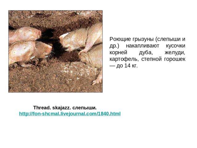 Роющие грызуны (слепыши и др.) накапливают кусочки корней дуба, желуди, картофель, степной горошек — до 14 кг. Thread. skajazz. слепыши. http://fon-shcmal.livejournal.com/1840.html