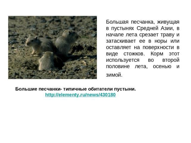 Большая песчанка, живущая в пустынях Средней Азии, в начале лета срезает траву и затаскивает ее в норы или оставляет на поверхности в виде стожков. Корм этот используется во второй половине лета, осенью и зимой. Большие песчанки- типичные обитатели …