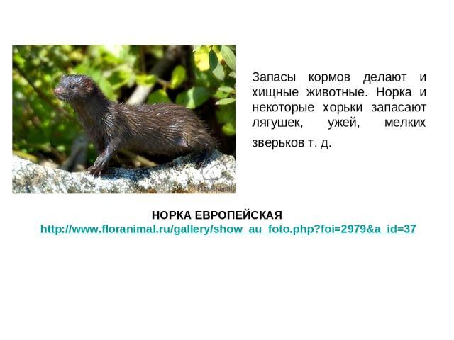 Запасы кормов делают и хищные животные. Норка и некоторые хорьки запасают лягушек, ужей, мелких зверьков т. д. НОРКА ЕВРОПЕЙСКАЯ http://www.floranimal.ru/gallery/show_au_foto.php?foi=2979&a_id=37