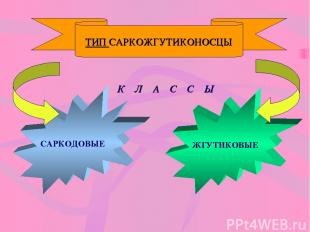 ТИП САРКОЖГУТИКОНОСЦЫ К Л А С С Ы