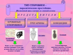 ТИП СПОРОВИКИ – паразитические простейшие. Жизненный цикл связан со сменой хозяе