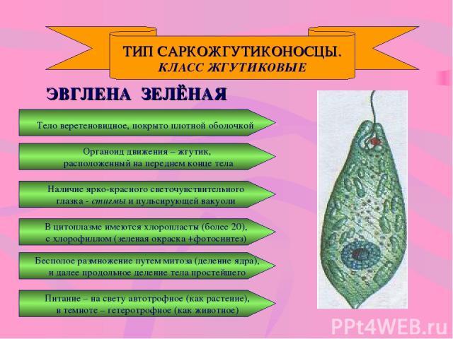 ТИП САРКОЖГУТИКОНОСЦЫ. КЛАСС ЖГУТИКОВЫЕ ЭВГЛЕНА ЗЕЛЁНАЯ Тело веретеновидное, покрыто плотной оболочкой Наличие ярко-красного светочувствительного глазка - стигмы и пульсирующей вакуоли В цитоплазме имеются хлоропласты (более 20), с хлорофиллом (зеле…