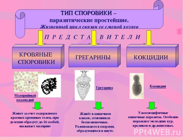 ТИП СПОРОВИКИ – паразитические простейшие. Жизненный цикл связан со сменой хозяев П Р Е Д С Т А В И Т Е Л И