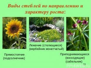 Виды стеблей по направлению и характеру роста: Прямостоячие (подсолнечник) Лежач