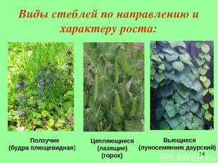Виды стеблей по направлению и характеру роста: Ползучие (будра плющевидная)  Це