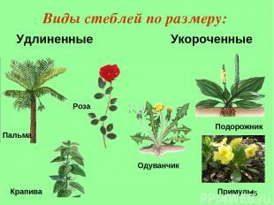 Виды стеблей по размеру: Удлиненные Укороченные Крапива Пальма Роза Подорожник р