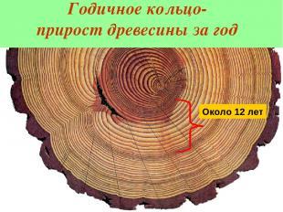 Годичное кольцо- прирост древесины за год По годичным кольцам можно: 1. Подсчита