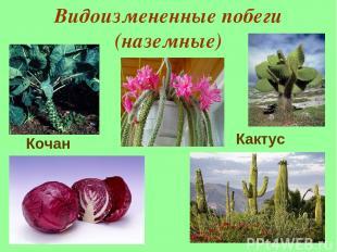 Видоизмененные побеги (наземные) Кактус Кочан