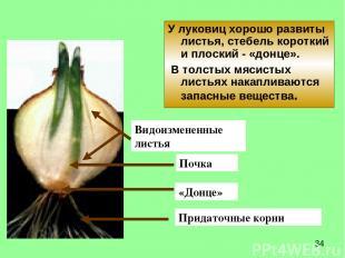 У луковиц хорошо развиты листья, стебель короткий и плоский - «донце». В толстых
