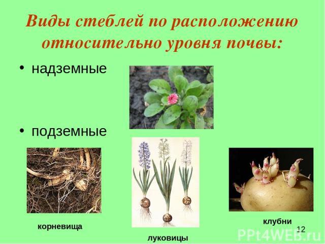 Виды стеблей по расположению относительно уровня почвы: надземные подземные луковицы клубни корневища