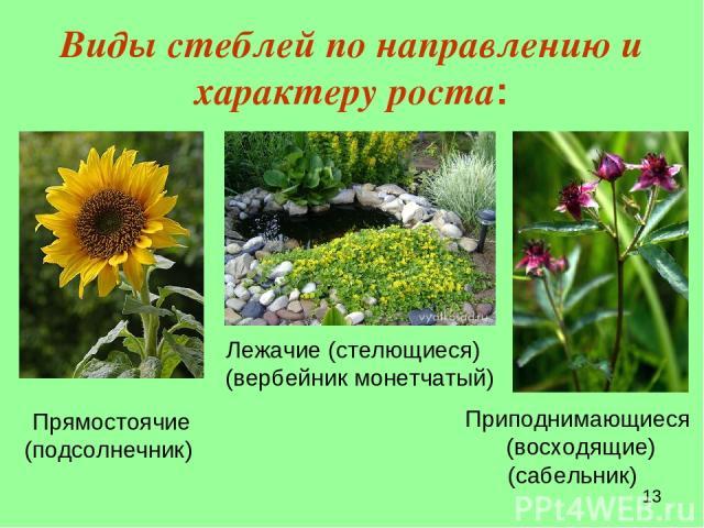 Виды стеблей по направлению и характеру роста: Прямостоячие (подсолнечник) Лежачие (стелющиеся) (вербейник монетчатый) Приподнимающиеся (восходящие) (сабельник)