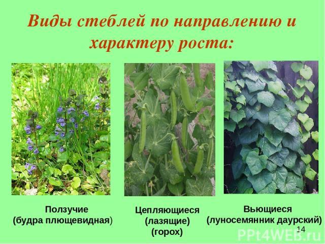 Виды стеблей по направлению и характеру роста: Ползучие (будра плющевидная)  Цепляющиеся (лазящие) (горох) Вьющиеся (луносемянник даурский)