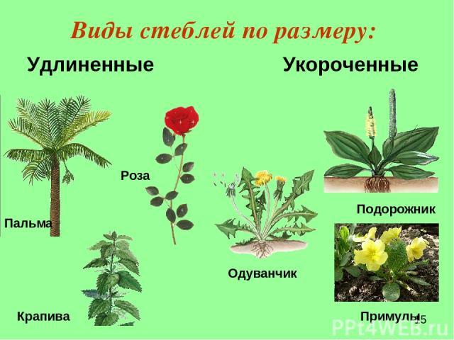 Виды стеблей по размеру: Удлиненные Укороченные Крапива Пальма Роза Подорожник роза Примулы Одуванчик