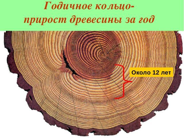 Годичное кольцо- прирост древесины за год По годичным кольцам можно: 1. Подсчитать возраст дерева или побега 2. Определить в каких условиях жило растение 3. Установить колебания погодных условий за многие годы Около 12 лет