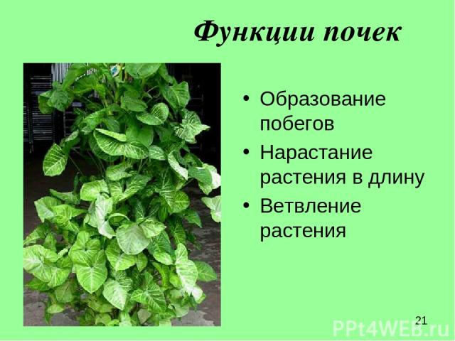 Функции почек Образование побегов Нарастание растения в длину Ветвление растения
