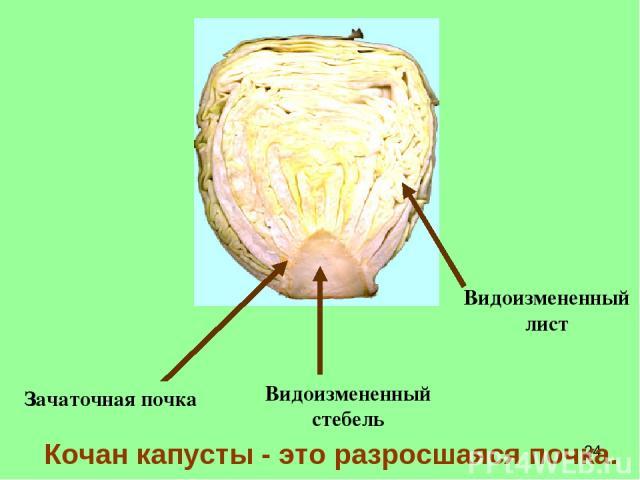 Кочан капусты - это разросшаяся почка. Видоизмененный стебель Зачаточная почка Видоизмененный лист