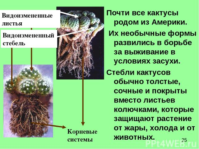 Почти все кактусы родом из Америки. Их необычные формы развились в борьбе за выживание в условиях засухи. Стебли кактусов обычно толстые, сочные и покрыты вместо листьев колючками, которые защищают растение от жары, холода и от животных. Видоизменен…