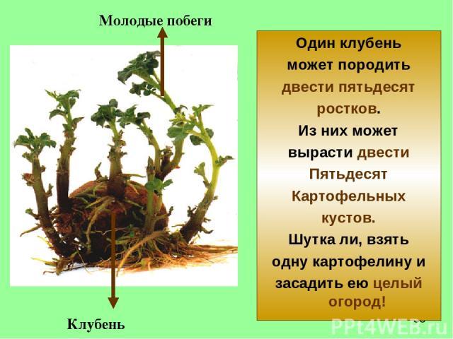 Один клубень может породить двести пятьдесят ростков. Из них может вырасти двести Пятьдесят Картофельных кустов. Шутка ли, взять одну картофелину и засадить ею целый огород! Молодые побеги Клубень