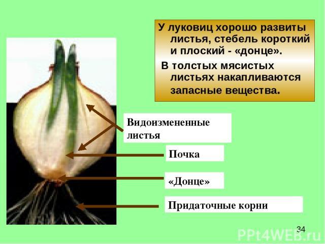 У луковиц хорошо развиты листья, стебель короткий и плоский - «донце». В толстых мясистых листьях накапливаются запасные вещества. «Донце» Видоизмененные листья Придаточные корни Почка