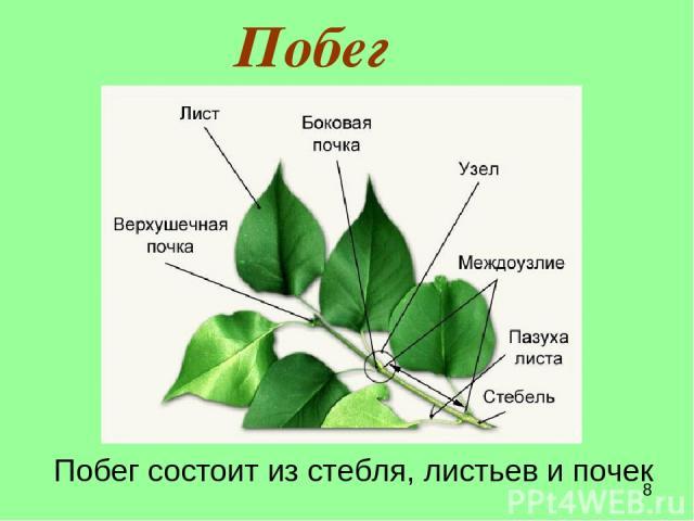 Побег Побег состоит из стебля, листьев и почек