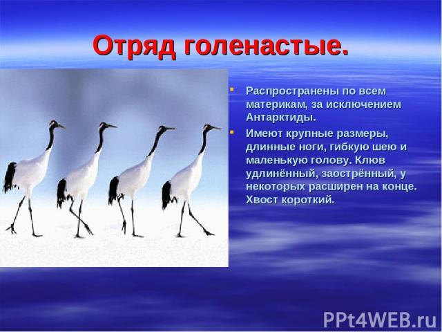Отряд голенастые. Распространены по всем материкам, за исключением Антарктиды. Имеют крупные размеры, длинные ноги, гибкую шею и маленькую голову. Клюв удлинённый, заострённый, у некоторых расширен на конце. Хвост короткий.