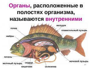 Органы, расположенные в полостях организма, называются внутренними желудок жабры