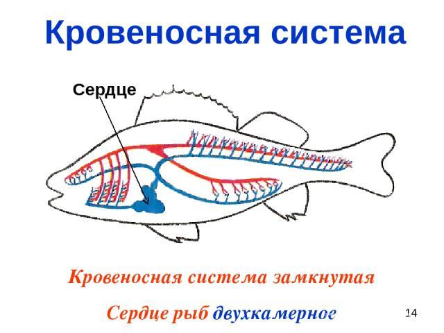 Кровеносная система Кровеносная система замкнутая Сердце рыб двухкамерное Сердце