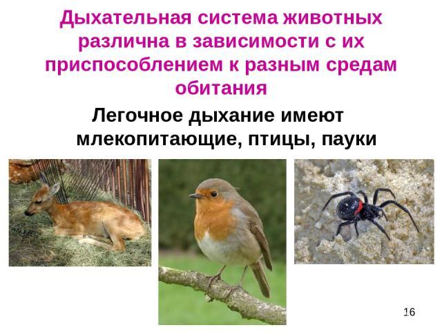 Дыхательная система животных различна в зависимости с их приспособлением к разным средам обитания Легочное дыхание имеют млекопитающие, птицы, пауки