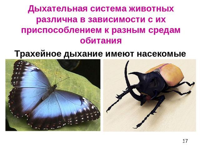 Дыхательная система животных различна в зависимости с их приспособлением к разным средам обитания Трахейное дыхание имеют насекомые