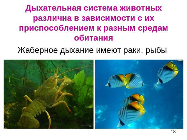 Дыхательная система животных различна в зависимости с их приспособлением к разным средам обитания Жаберное дыхание имеют раки, рыбы