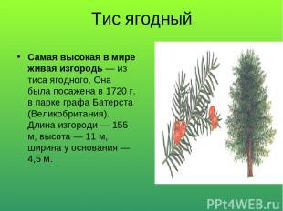 Тис ягодный Самая высокая в мире живая изгородь — из тиса ягодного. Она была пос