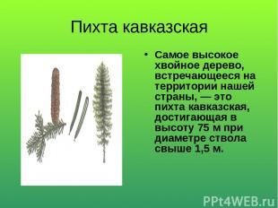 Пихта кавказская Самое высокое хвойное дерево, встречающееся на территории нашей