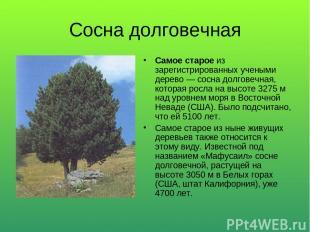 Сосна долговечная Самое старое из зарегистрированных учеными дерево — сосна долг