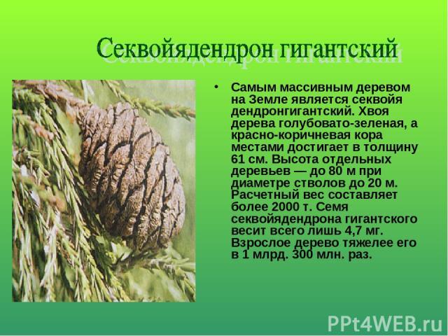 Самым массивным деревом на Земле является секвойя дендронгигантский. Хвоя дерева голубовато-зеленая, а красно-коричневая кора местами достигает в толщину 61 см. Высота отдельных деревьев — до 80 м при диаметре стволов до 20 м. Расчетный вес составля…