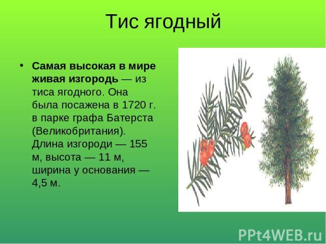 Тис ягодный Самая высокая в мире живая изгородь — из тиса ягодного. Она была посажена в 1720 г. в парке графа Батерста (Великобритания). Длина изгороди — 155 м, высота — 11 м, ширина у основания — 4,5 м.