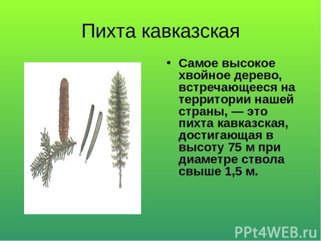 Пихта кавказская Самое высокое хвойное дерево, встречающееся на территории нашей страны, — это пихта кавказская, достигающая в высоту 75 м при диаметре ствола свыше 1,5 м.