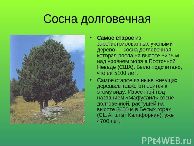 Сосна долговечная Самое старое из зарегистрированных учеными дерево — сосна долговечная, которая росла на высоте 3275 м над уровнем моря в Восточной Неваде (США). Было подсчитано, что ей 5100 лет. Самое старое из ныне живущих деревьев также относитс…