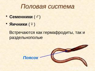 Половая система Семенники (♂) Яичники (♀) Встречаются как гермафродиты, так и ра