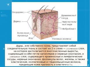 Дерма , или собственно кожа, представляет собой соединительную ткань и состоит и