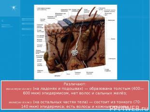 Различают: толстую кожу (на ладонях и подошвах)— образована толстым (400—600мк