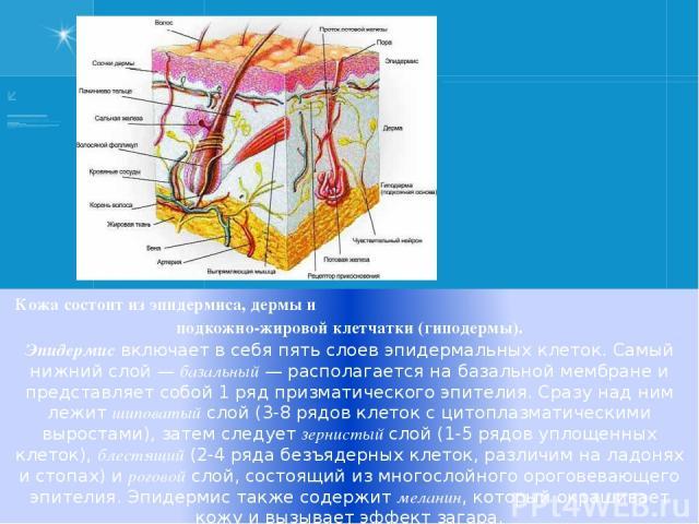 Кожа состоит из эпидермиса, дермы и подкожно-жировой клетчатки (гиподермы). Эпидермис включает в себя пять слоев эпидермальных клеток. Самый нижний слой— базальный— располагается на базальной мембране и представляет собой 1 ряд призматического эпи…