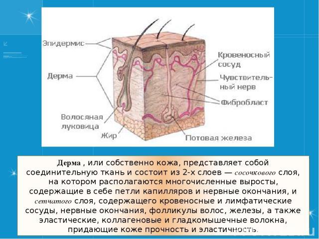 Дерма , или собственно кожа, представляет собой соединительную ткань и состоит из 2-х слоев— сосочкового слоя, на котором располагаются многочисленные выросты, содержащие в себе петли капилляров и нервные окончания, и сетчатого слоя, содержащего кр…