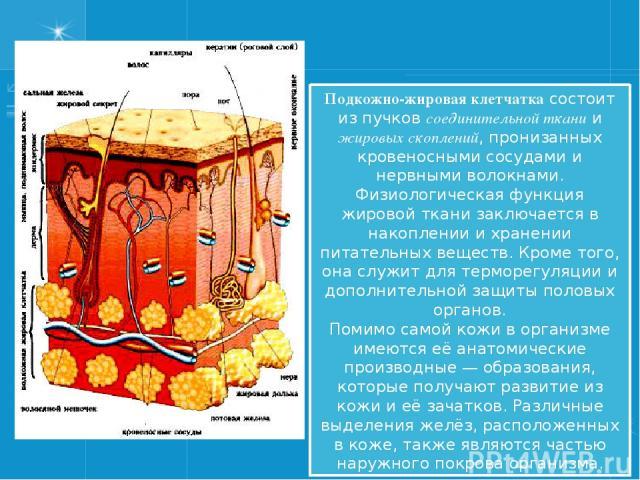Подкожно-жировая клетчатка состоит из пучков соединительной ткани и жировых скоплений, пронизанных кровеносными сосудами и нервными волокнами. Физиологическая функция жировой ткани заключается в накоплении и хранении питательных веществ. Кроме того,…