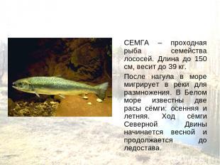 СЕМГА – проходная рыба семейства лососей. Длина до 150 см, весит до 39 кг. После