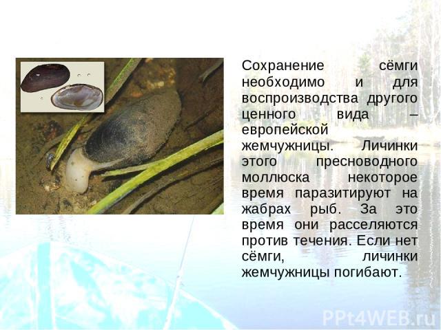 Сохранение сёмги необходимо и для воспроизводства другого ценного вида – европейской жемчужницы. Личинки этого пресноводного моллюска некоторое время паразитируют на жабрах рыб. За это время они расселяются против течения. Если нет сёмги, личинки же…