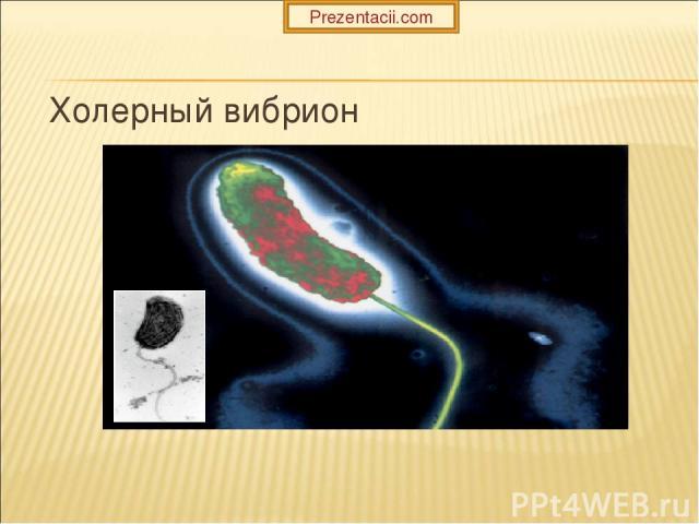Холерный вибрион Prezentacii.com